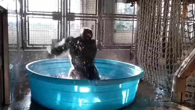The Dallas Zoo is sharing video of a gorilla that zoo officials say has a passion for splashin' and his moves looks like he's dancing. (June 23)