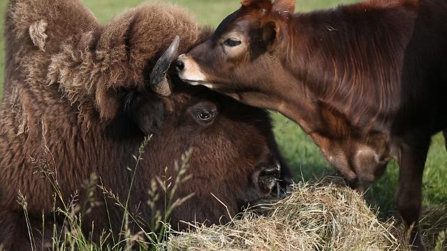 Blind bison never loved anyone until she met Oliver the cow