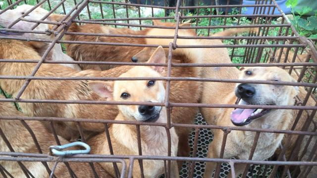 Rumors surfaced in May claiming the festival would be canceled and that selling dog meat would be banned. Video provided by Newsy